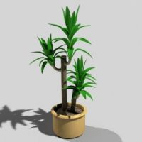 Potted Yucca